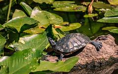 Kapok Park Wild Life (MJ6606) Tags: lily tree water lake grass turtle flowersplants spring park florida nature