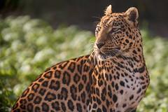 animal beauty (rondoudou87) Tags: panther panthère pentax k1 parcdureynou zoo reynou park parc nature natur bokeh beautiful beauty panthera eyes yeux wildlife wild