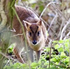 If you go down to the woods.... (Alan McCluskie) Tags: muntiacusreevesi muntjac deer mammal woods woodland animal nature wildlife canon7dmk2 sigma150600mmsp inexplore explore