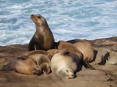 La Jolla Cove - sea lions (biped_808) Tags: lajollacove sandiego sealions sealion nature