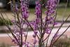 IMG_20180323_145323_7419_LR95_1 (sudeshka) Tags: austin flowersplants texas utturtlepond universityoftexasataustin flora floraandfauna flowers plants