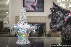 20180331  My Little Easter Bunny10714-Edit (Laurie2123) Tags: ddc dailydogchallenge fujixt2 fujinon1024mm laurieturnerphotography laurietakespics laurie2123 maggie missmaggie odc odc2018 ourdailychallenge scottie scottishterrier basket blackscottishterrier blackdog crystal home reflection easter candy pastels livingroom