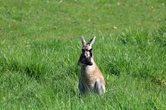 Thinking Wallabe (Daniel Hemingsen) Tags: wallabe thinking zoo zoosofnorthamerica