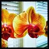 Home grown. #Takoma #dc #dclife #washingtondc #iphone #iPhonemacro #macro  #flower #flowersofinstagram (Kindle Girl) Tags: iphone takoma dc dclife washingtondc iphonemacro macro flower flowersofinstagram