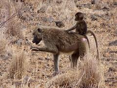 Uganda - 1256 (Bruno Rijsman) Tags: uganda eastafrica africa hiking trekking tecla bruno roadtrip safari wildlife