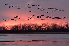 Sandhill_Cranes-35 (Beverly Houwing) Tags: nebraska sandhillcranes plattriver migration spring birds conservation cranetrust sanctuary protected flying sihouette clouds sky sunset dusk pink unitedstates midwest