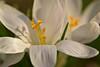 Crocus (pstenzel71) Tags: blumen natur pflanzen samyang100mm28macro krokus crocus flower spring frühling bokeh darktable samsungnx