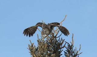 Great Gray Owl  9115
