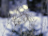 P3301084 copy (Marjatta Caján) Tags: dried flowers winter beauties snow blue light meadowsweet magic nature