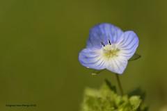 Ereprijs (Agnes Van Parijs) Tags: flower ereprijs bloem lente gazon