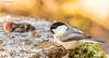 """""""Silmside !"""" #põhjatihane #tihane #lind #loodus #seemned #toit #canon (Igor """"Ixa"""" Nael) Tags: tihane põhjatihane willowtit tits bird lind wild nature seemned toit puukänd mets"""
