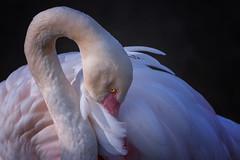 Rosa Flamingo (Jutta Achrainer) Tags: achrainerjutta flamingos sonyalpha7riii sonyfe100400mmf4556gmoss tierwelt vögel tierparkhellabrunn münchen zoo rosaflamingo