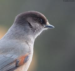 The Siberian jay came closer (uusija) Tags: perisoreusinfaustus siberianjay bird kuukkeli linnut luonto nature
