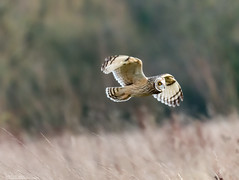 Short-Eared Owl (Steve (Hooky) Waddingham) Tags: animal countryside nature hunting mice voles photography prey wild wildlife