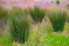 saturation#3 (alain leveque) Tags: jonc joncs xt20 leveque gerbe sensualité sensuality transformation irréel abstraction metaphore notreality abstrait art saturation parade paraitre desir desirs folie impressionisme impressionism surnaturel unreal bulrushes