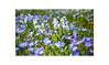Blaustudie (rafischatz... www.rafischatz-photography.de) Tags: blue scilla asparagaceae