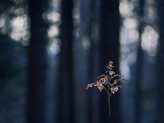 The One in the Forest (redfurwolf) Tags: forest plant outdoor nature bokeh abstract simplistic simplicity simple redfurwolf hiking sonyalpha sony a7riii