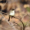 Eastern Phoebe (picturesinmylife_yls) Tags: phoebe eastern return nature spring