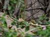 20180407-0I7A9061 (siddharthx) Tags: achampet bird birdwatching birdsofindia birdsoftelangana canon canon7dmkii closerange dawn dawnsunriseumamaheshwaram ef100400f4556isii goldenhour portraiture sunrise telangana umamaheshwaramtemple india in whitebrowedbulbul bulbul nature nallamallaforest ef100400mmf4556lisiiusm