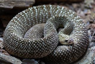 Rattlesnake  040418-3209