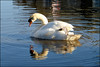 Can't take my eyes off ME. (Country Girl 76) Tags: swan beautiful water ripples bird wildlife canal skipton reflections