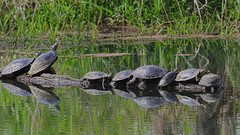 Serious Sunbathing (Team Hymas) Tags: turtles ridgefield washington wildlife refuge
