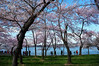 Cherry Blossoms at the Tidal Basin (` Toshio ') Tags: toshio cherryblossoms washingtondc washington dc tree flowers blooms people tidalbasin usa fujix100 x100