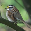 White-throated Sparrow (Mark and Joan Levine) Tags: whitethroatedsparrow
