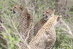 Jachtluipaard - Cheetah (marcdeceuninck) Tags: nature ndutu tanzania safari natuurfotografie zoogdier mammal jachtluipaard cheetah