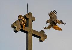 Visitation (Chris Protopapas) Tags: sony nyc hawk cross church pentax wildlife
