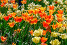 2012 Ottawa Tulip Festival (jkowalski2) Tags: closeup day events flowers imagetype landscape landscapes macro nature outdoor photospecs seasons spring stockcategories time tulipfestival