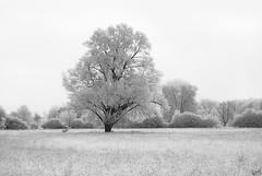 Lone Tree on a Meadow (johaennesy) Tags: ir infrared infrarot infraredphotography tree lonetree monochrome monochrom blackandwhite opensourcesoftware gimp rawtherapee bright