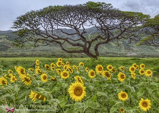 Sunflower Fields & Banyan Tree in Maui, Hawaii