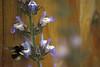 BumbleBee on Sage Blossom (Rachela B) Tags: sage blossom spring garden bee bokeh wood fence sundayafternoon