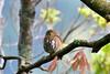 鵂鶹 Glaucidium brodiei(Collared Owlet) 小葫蘆 (Shang-fu Dai) Tags: 台灣 taiwan 台中市 和平區 nikon d500 formosa 鵂鶹 glaucidiumbrodiei collaredowlet 飛羽 鳥 bird 台中 taichung tamron150600mm 大雪山