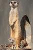 meerkat artis BB2A4630 (j.a.kok) Tags: meerkat stokstaartje artis animal africa afrika predator mammal zoogdier dier baby babymeerkat babystokstaartje