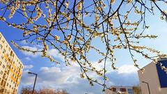 Spring, Szeged (operian) Tags: sakura afternoon nofilter cherryblossom hungary galaxys6 panelház branches