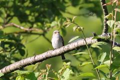 Spotted Flycatcher (muscicapa striata) (mrm27) Tags: flycatcher spottedflycatcher muscicapa muscicapastriata sandon hertfordshire