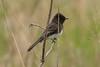 Black Phoebe (JohnReynolds2012) Tags: 2018 vancouver bc wildlife bird inaturalist canada birds coquitlam britishcolumbia ca animals