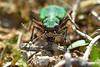 Green Tiger Beetle ... Cicindela campestris. (AndyorDij) Tags: greentigerbeetle cicindelacampestris carabidae beetle insects insect kettoncementworks kettonquarry kettonquarrynaturereserve ketton england rutland uk unitedkingdom andrewdejardin spring 2018