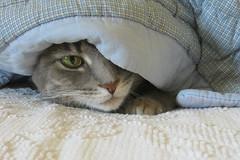 Millie 9 May 2018 9287Ri 4x6 (edgarandron - Busy!) Tags: millie graytabby cat cats kitty kitties tabby tabbies cute feline