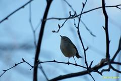 Roitelet à couronne rubis femelle (justinlapierre1998) Tags: ornithologie oiseau roitelet canada saintmicheldessaints québec