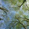Elms (twoeye) Tags: ulmusglabra batis 18 elms green blue branch sprout spring