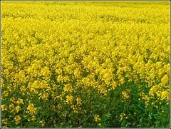 Field of Oil-Seed Rape .. (** Janets Photos **) Tags: uk nature crops oilseedrape yellow
