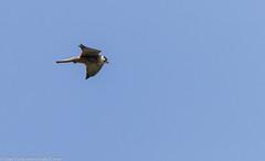9Q6A3918 (2) (Alinbidford) Tags: alancurtis alinbidford birdofprey brandonmarsh hobby nature wildbirds wildlife