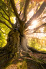 Treebeard (martijnvdnat) Tags: beautyinnature leaf leiden nopeople orangecolor parkmanmadespace woodland bark beech branch branches environment forest landscape leaves nature old outdoors plant roots scenics season sunlight tree treetrunk trunk yellow zuidholland nederland