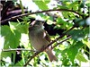 Youngster (MaxUndFriedel) Tags: tree leaves sun shadow bird sparrow youngster twig young summer