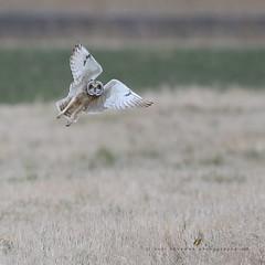 hey .. you ! (senn_b) Tags: asioflammeus hiboudesmarais uitkerksepolder vlaanderen belgië belgium velduil canonef400mmf4doisiiusm bird