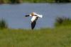 Shelduck (warren hanratty) Tags: wildbird warrenhanrattyphotography wildlife nature wwt wildfowl gloucestershire tadornatadorna shelduck bird slimbridge wwtslimbridge