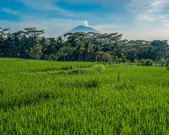 Rice Field with a Smuldering Mt. Agung in the Background - Ubud, Bali, Indonesia (mattybecks3) Tags: indo asia bali indonesia ubud id ngc natgeo volcano rice terrace paddy field mount agung eruption erupt smoke travel lonelyplanet
